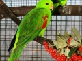 timor red winged parrot