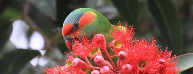 Lorikeet food is easier accessible in cities than in the wild