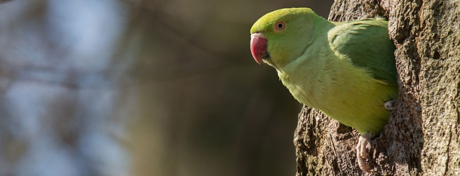 Invasive species Ringneck Parrot ( Psittacula krameri ) shot by a man in London