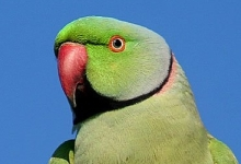 The Seychelles Parrot is threatened by the invasive Indian Ringnecked Parrot. Local authorities want to shoot them.