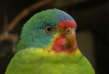 The biggest threat for the endangered Swift Parakeet? The Sweet Marsupial