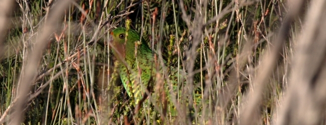 Western Ground Parrot at Perth ZOO, first attempt to breed it in captivity?