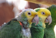 PDD: the killer of parrots which is difficult to fight against