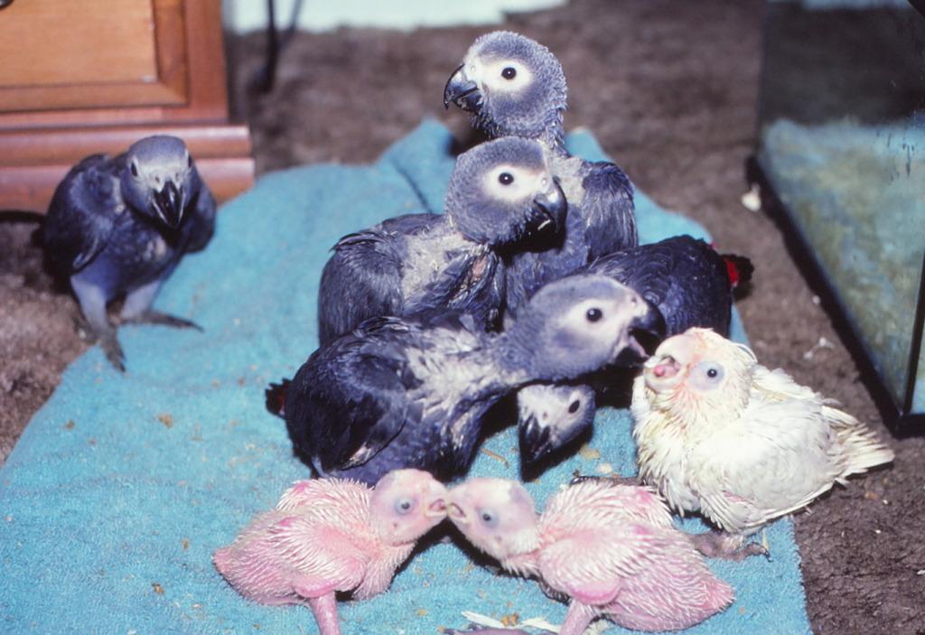 African Grey Parrot ( Psittacus erithacus ) babies