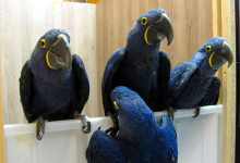 Interview about successful Hyacinth Macaw breeding ( Anodorhynchus hyacinthinus )