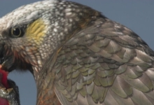 Kaka Parrot ( Nestor meridionalis ) biology and its comparison with Kea Parrot ( Nestor notabilis )