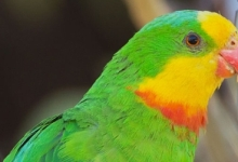 "Researchers ask: ""Don't remove the Superb Parrot from the list of endangered species!"""