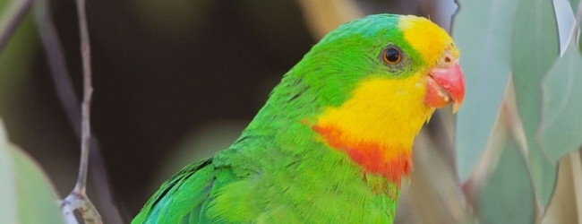 """Researchers ask: """"Don't remove the Superb Parrot from the list of endangered species!"""""""