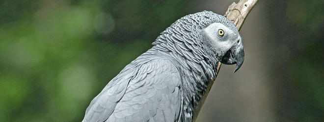 African Grey Parrot breeding (II) | Psittacus erithacus