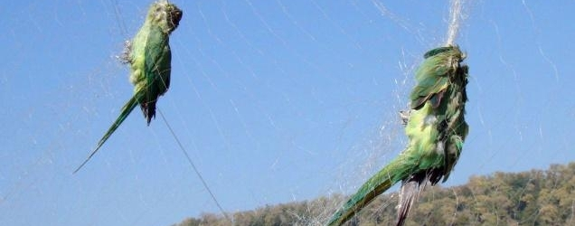 Indian paradox: parrots die in nets intended for monkeys