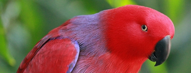 Can we manipulate with parrot sex ratio?