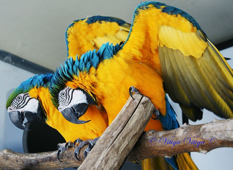 Blue-and-gold-macaw-breeding-pair