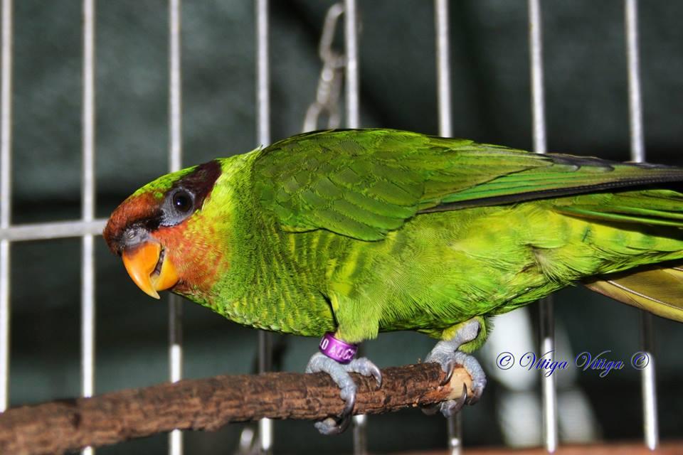 Mt-ap-lorikeet-single-bird