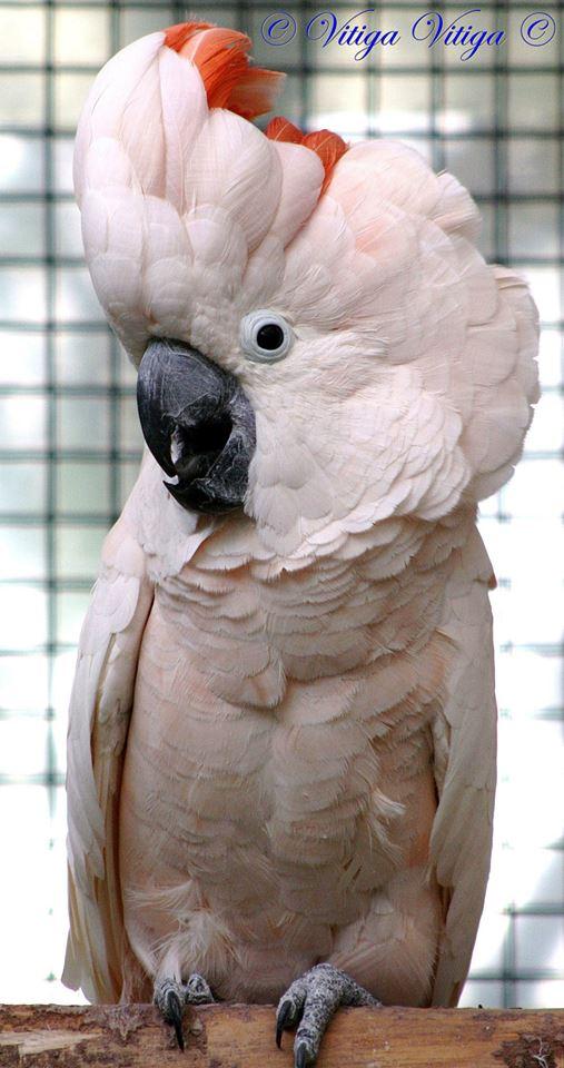 Moluccan-cockatoo-male