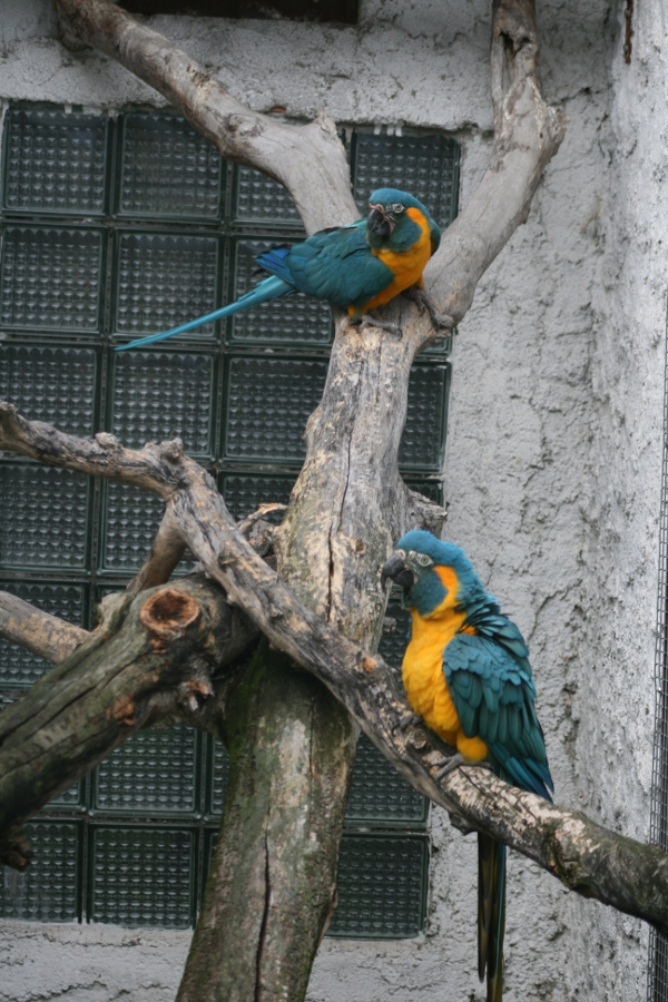 A big collection of macaws