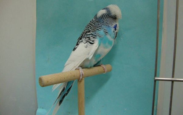 Breeding of exhibition budgies