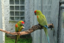 The macaw specialist: Hopefully, I will get the Thick-billed Parrot one day