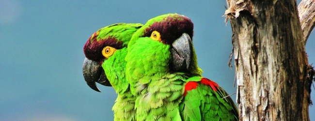Miguel A. Gómez Garza: my most valuable success is the first breeding of Maroon-fronted Parrot in the world