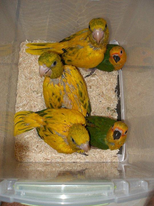golden conures chicks2