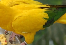 Tony Silva NEWS: Breeding of the Golden Conure