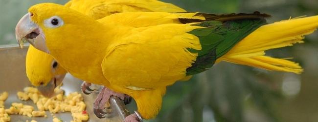 Tony Silva NEWS: Breeding of the Golden Conure