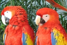 How many subspecies does the Scarlet Macaw have?