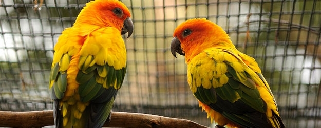 Tony Silva NEWS: Breeding Sun Conures. PART I