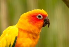 Tony Silva NEWS: Breeding of Sun Conures. PART II