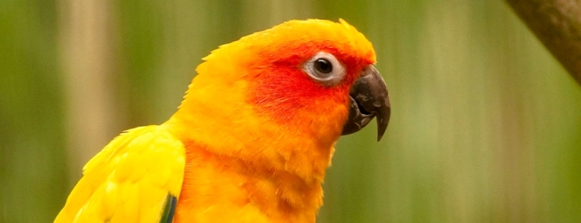 Tony Silva NEWS: Breeding of Sun Conures. PART II
