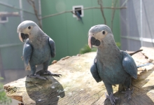 The Spix's Macaws Carla & Tiago have now been flown from Berlin to Sao Paulo