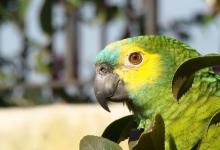Tony Silva NEWS: The races of Amazona aestiva. PART II