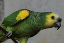Tony Silva NEWS: The races of Amazona aestiva. PART I