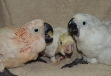 Cockatoos aggression – possibles causes and solutions. PART II