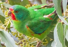 Tasmanian government approved deforestation of the Swift Parrot's natural habitat, contrary to researchers recommendation