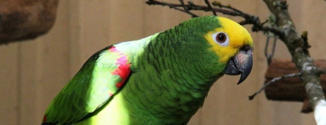 Breeding of the Marajo Yellow-Crowned Amazon
