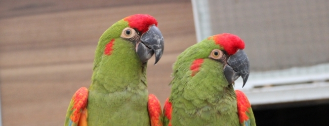 Lubica Necasova talks about a very common disease in parrots – PDD. PART II