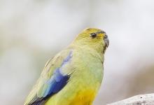 Expert on Blue-winged parrots Jan Cvrcek talks about breeding of this species. PART I