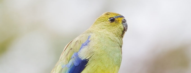 Expert on Blue-winged parrots Jan Cvrcek talks about breeding of this species. PART I