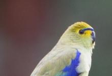 Expert on Blue-winged parrots Jan Cvrcek talks about breeding of this species. PART II