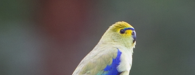 Expert on Blue-winged parrots Jan Cvrcek talks about breeding of this species. PART II