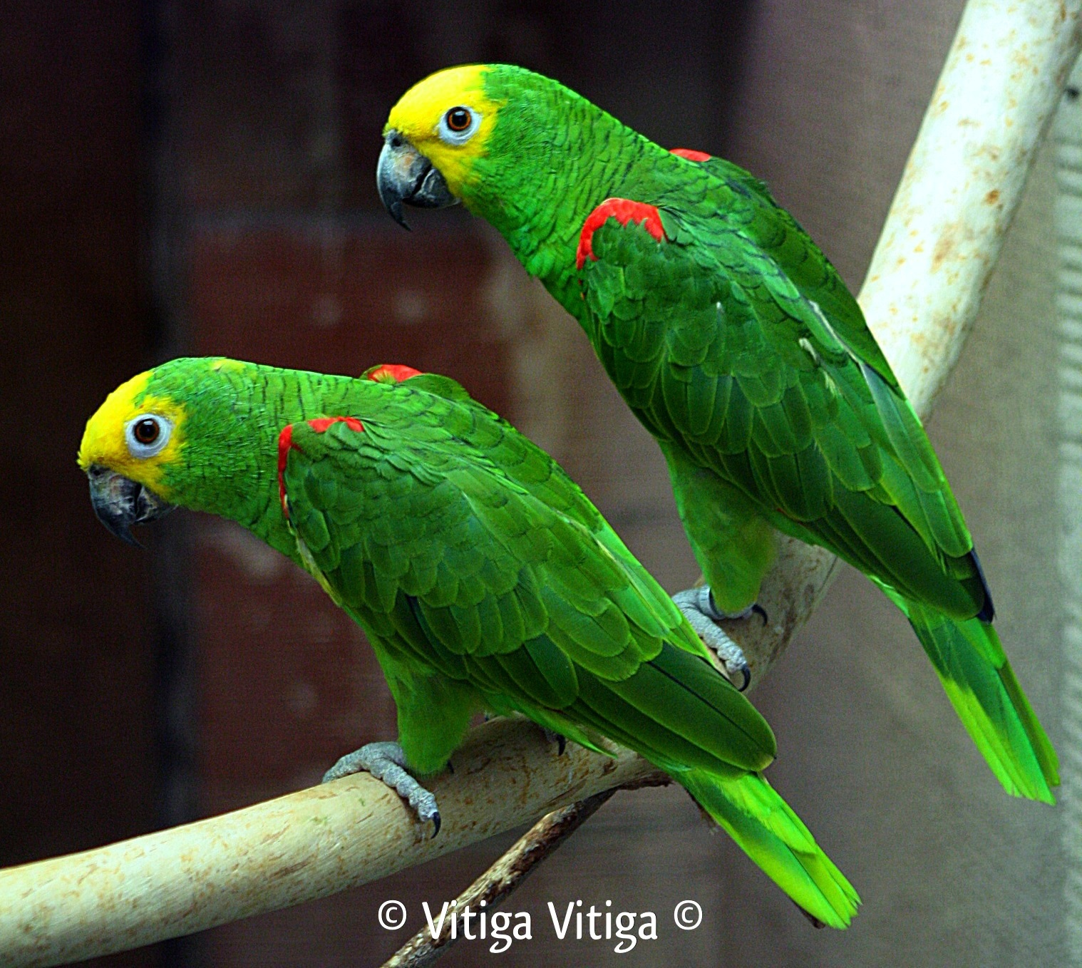 Amazon: Breeding Of The Marajo Yellow-Crowned Amazon