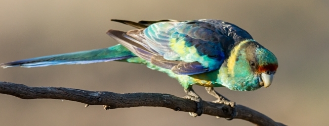 The Mallee Ringneck Parrot is not considered as separated species anymore
