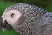 Lubica Necasova: African Grey Parrot is a very difficult bird to keep as a pet. PART VI