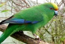 Captive bred Orange-fronted Parakeets were released to the wild in New Zealand