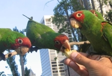 Do you know which parrots can we find in Europe in the WILD?
