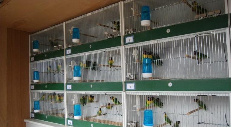 Hasil gambar untuk breeding lovebird
