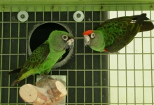 Tony Silva NEWS: How to stimulate your parrots before the breeding season?