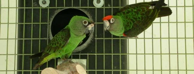 Tony Silva NEWS: How to stimulate your parrots before the breeding season?