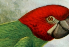 Do you know all extinct parrots? MACAWS. PART II