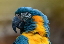 "Tony Silva NEWS: Questions and answers. ""My macaws feed each other and mate, but they do not lay eggs."""